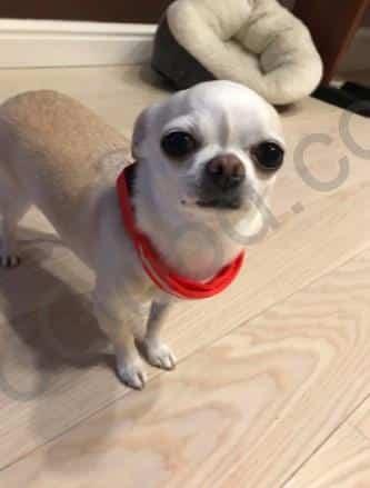 קולר לד לכלב קטן