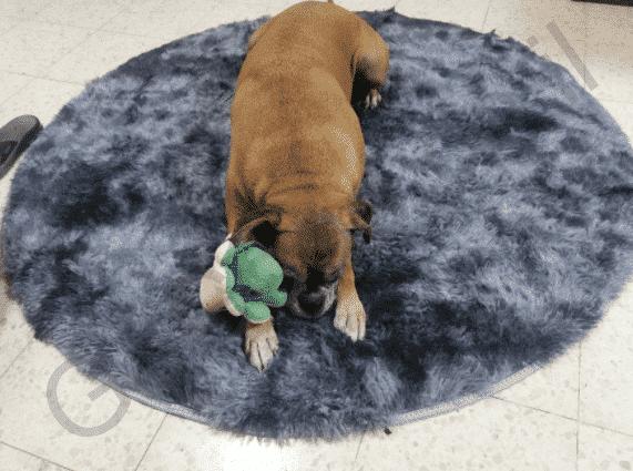 שטיח כחול כלב